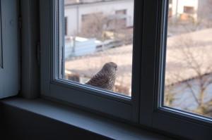 Gheppio femmina sul davanzale di casa mia